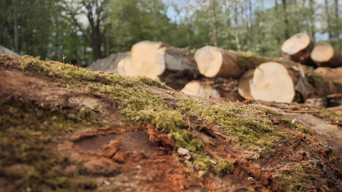 woodland tree felled